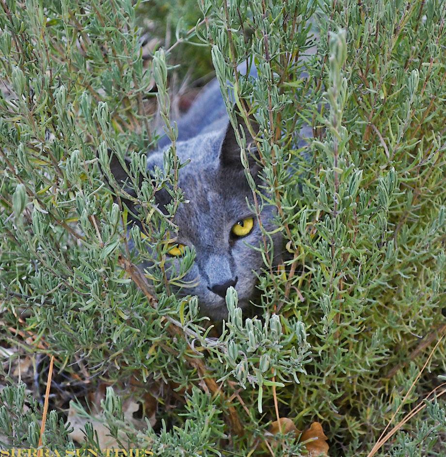 lavender cat - photo #16