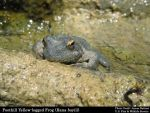 California Protects Rare Foothill Yellow-legged Frog