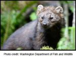 Lawsuit Filed Over Feds' Denial of Endangered Species Protection to Pacific Fishers