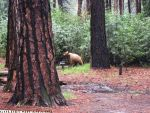 Yosemite National Park Bear Facts for June 12-25, 2016