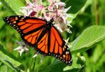 Center for Biological Diversity Reports a New Study Finds Climate Change Contributing to Widespread Butterfly Decline Across Western United States