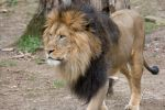 Six African Lions, a Sumatran Tiger and Two Amur Tigers Test Presumptive Positive for COVID-19 at the Smithsonian's National Zoo