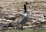 Blue-Colored Fat  in Geese in the San Francisco Bay Area Linked to Rodenticide Exposure in Hunter-Harvested Wildlife