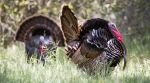 California Department of Fish and Wildlife Offering Drawings for 86 Spring Wild Turkey Hunts on Public, Private Land