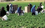 Strawberry Farmers Cope with Storms, California Farm Bureau Federation Reports