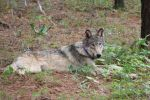 California Department of Fish and Wildlife Reports Gray Wolf Travels from Oregon to the Central Sierra Nevada – Last Seen in Mono County