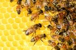 Honey Bee Health Key To Wellbeing Of Important Species, UCANR Reports
