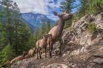 UC Berkeley: What Drives Yellowstone's Massive Elk Migrations?