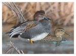 Winner of the 2021 California Duck Stamp Art Contest Announced