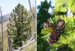 U.S. Fish and Wildlife Service Proposes Protections for Whitebark Pine - Public Invited to Comment on Proposed Threatened Status Under the Endangered Species Act